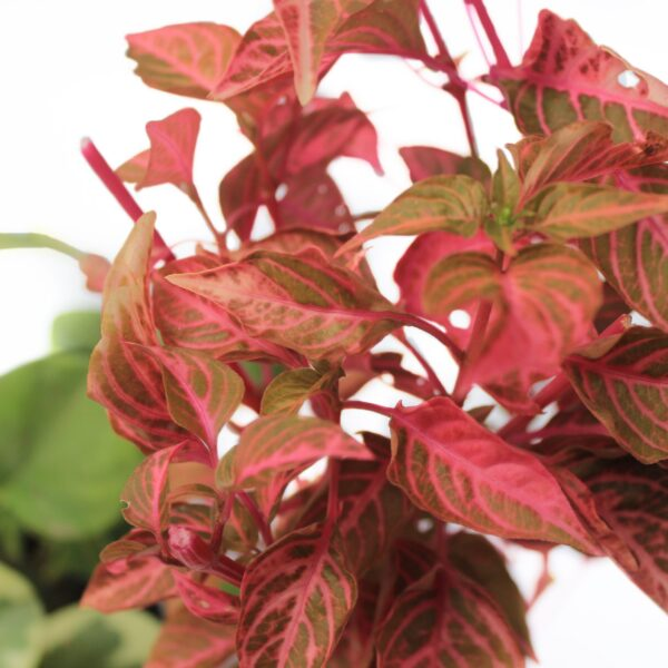 Variegated Peperomia & Iresine Pink Plants