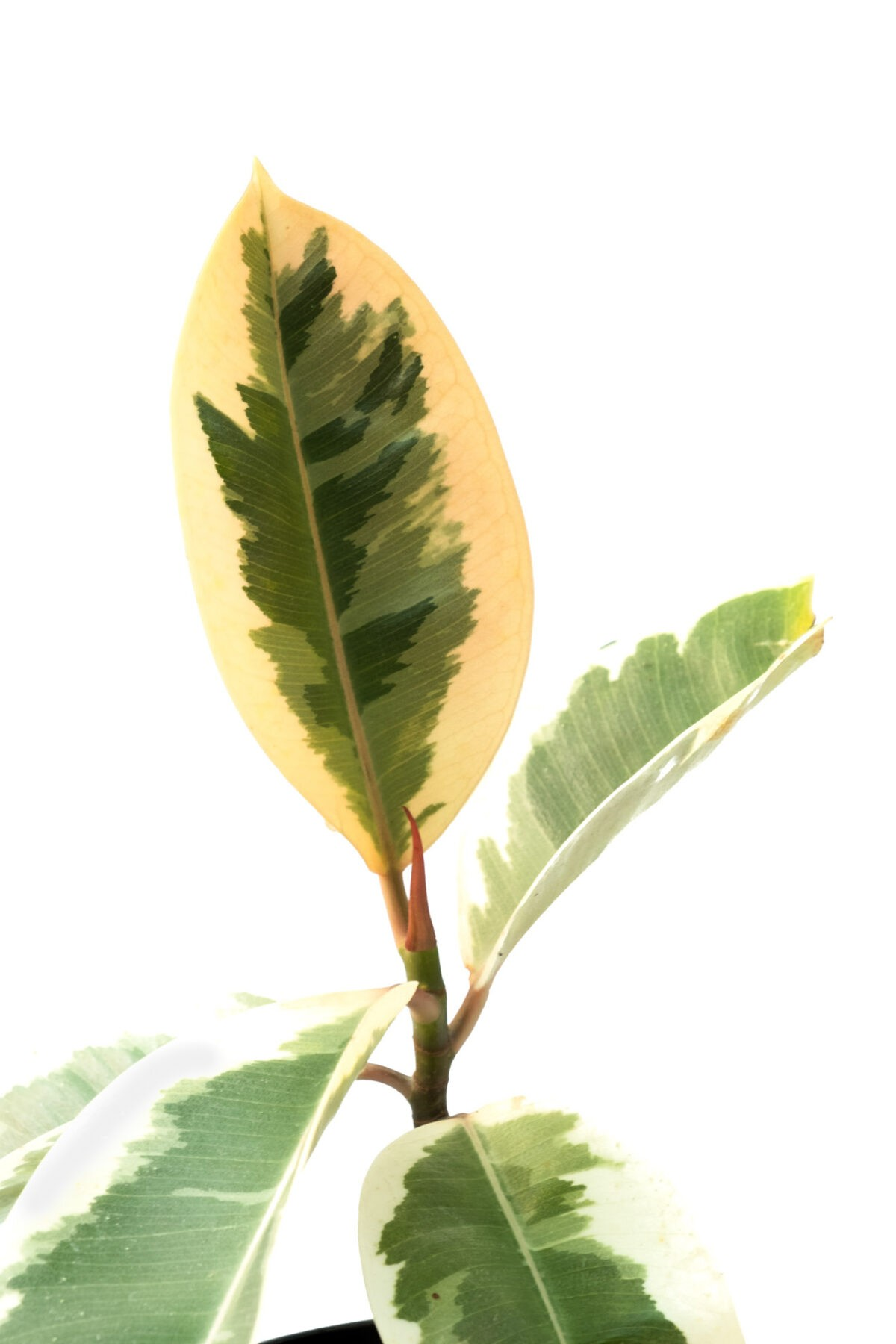 Variegated Rubber Plants for home Bangalore
