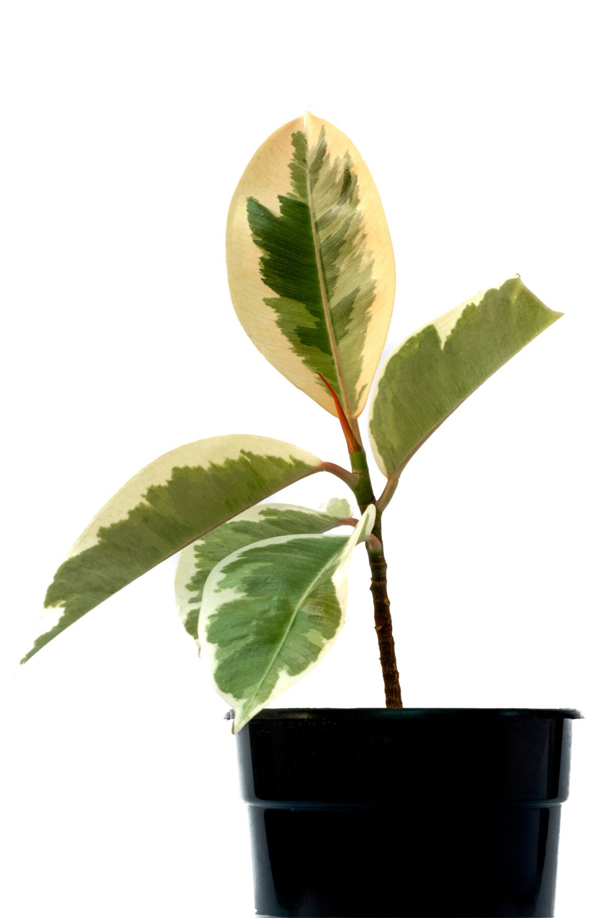 Variegated Rubber Ficus Plant excellent table top plant for bedroom