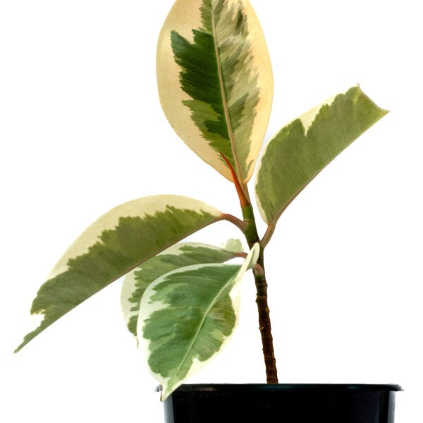 Variegated Rubber Ficus Plant