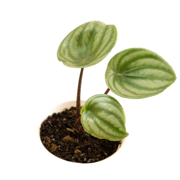 Watermelon Peperomia Plant