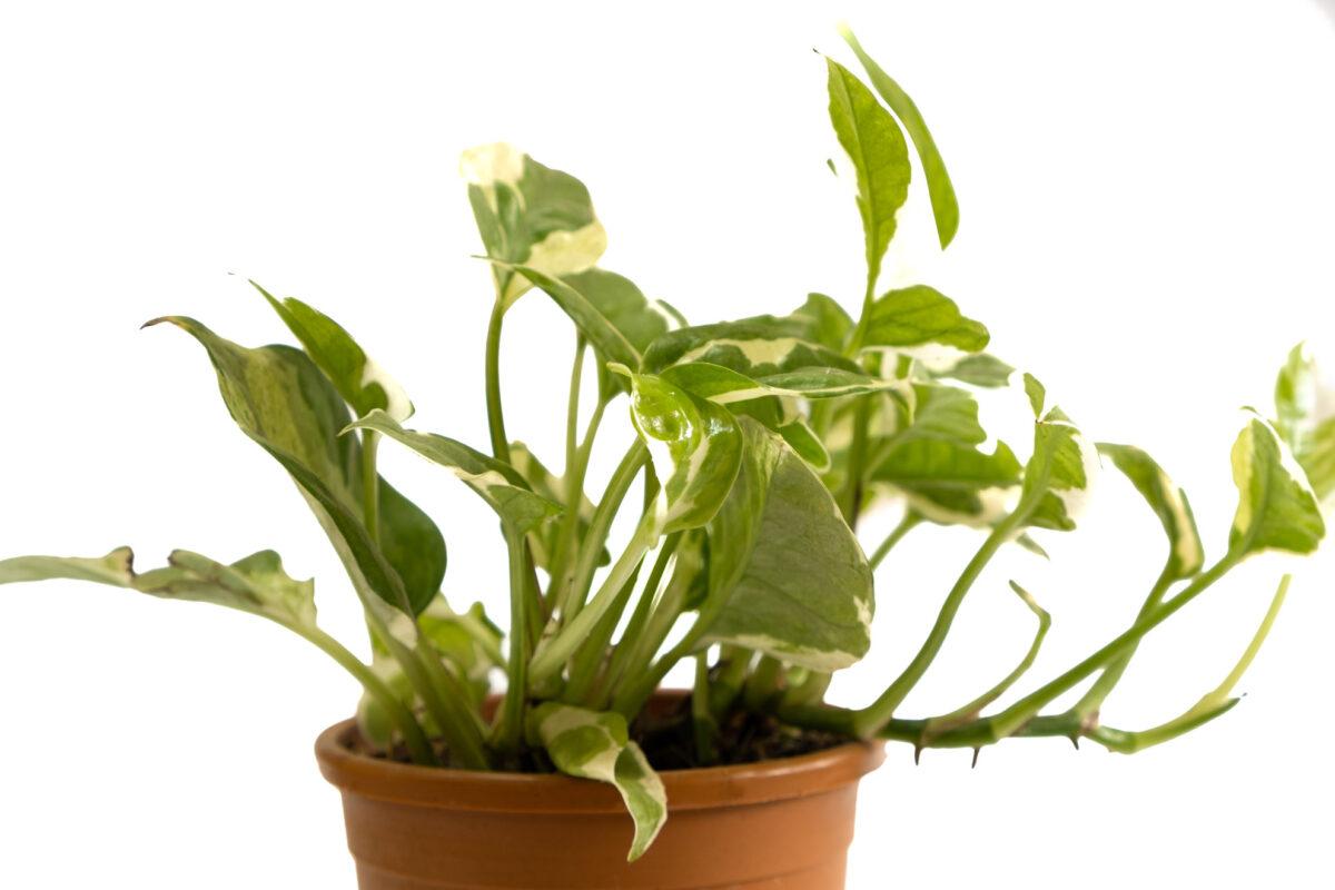Money Plant Njoy