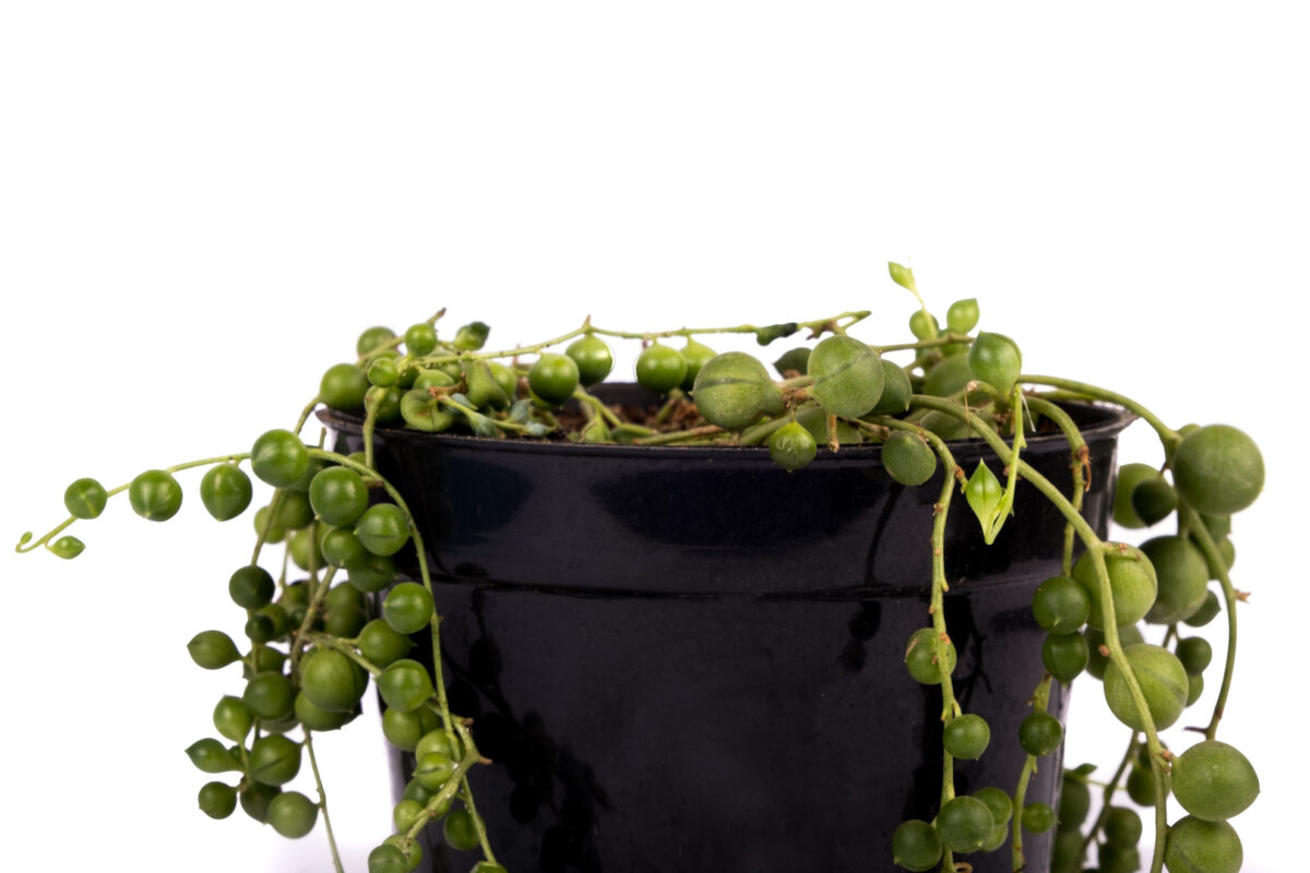Variegated String of Pearl Plants