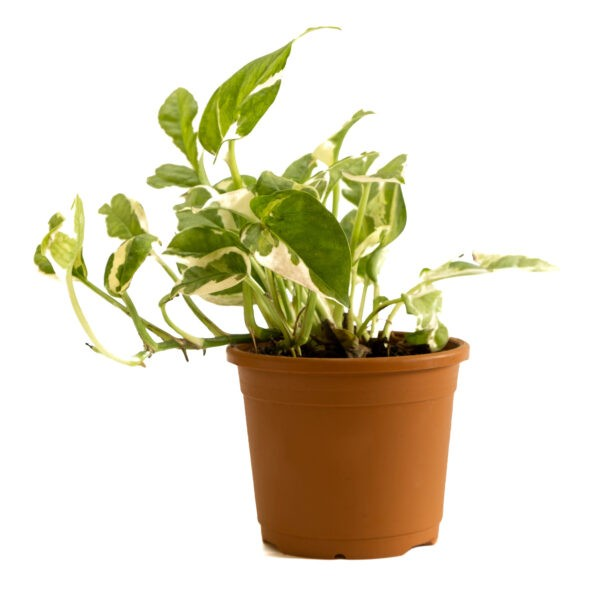 Marble Prince Money Plant or Money Plant njoy from online live nursery