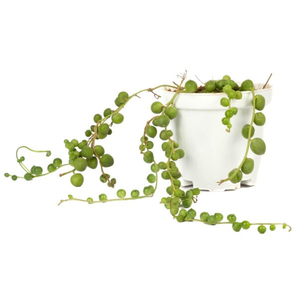String of Pearls Plant