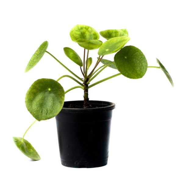 Chinese Money Plant in Nursery of Plants for home