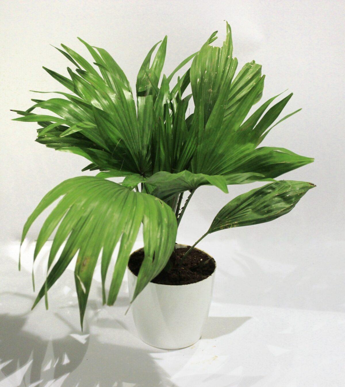 chinese palm/ Livistona chinensis Plant Online Nursery Bangalore