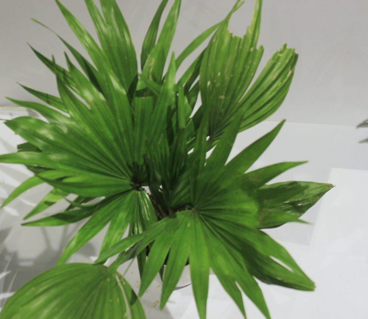 chinese palm/Livistona chinensis Plant