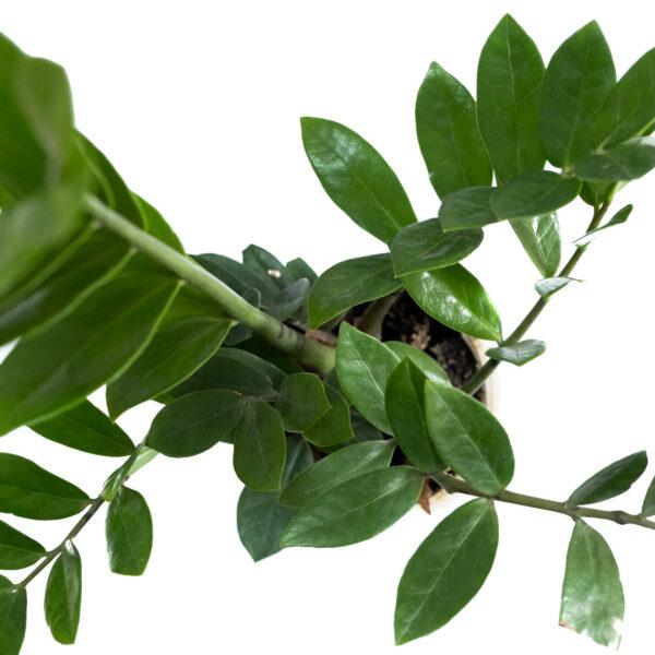Bagh Zamioculcas zamiifolia Plant