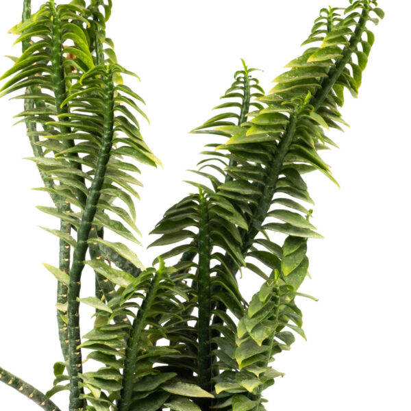 Pedilanthus Green Plant