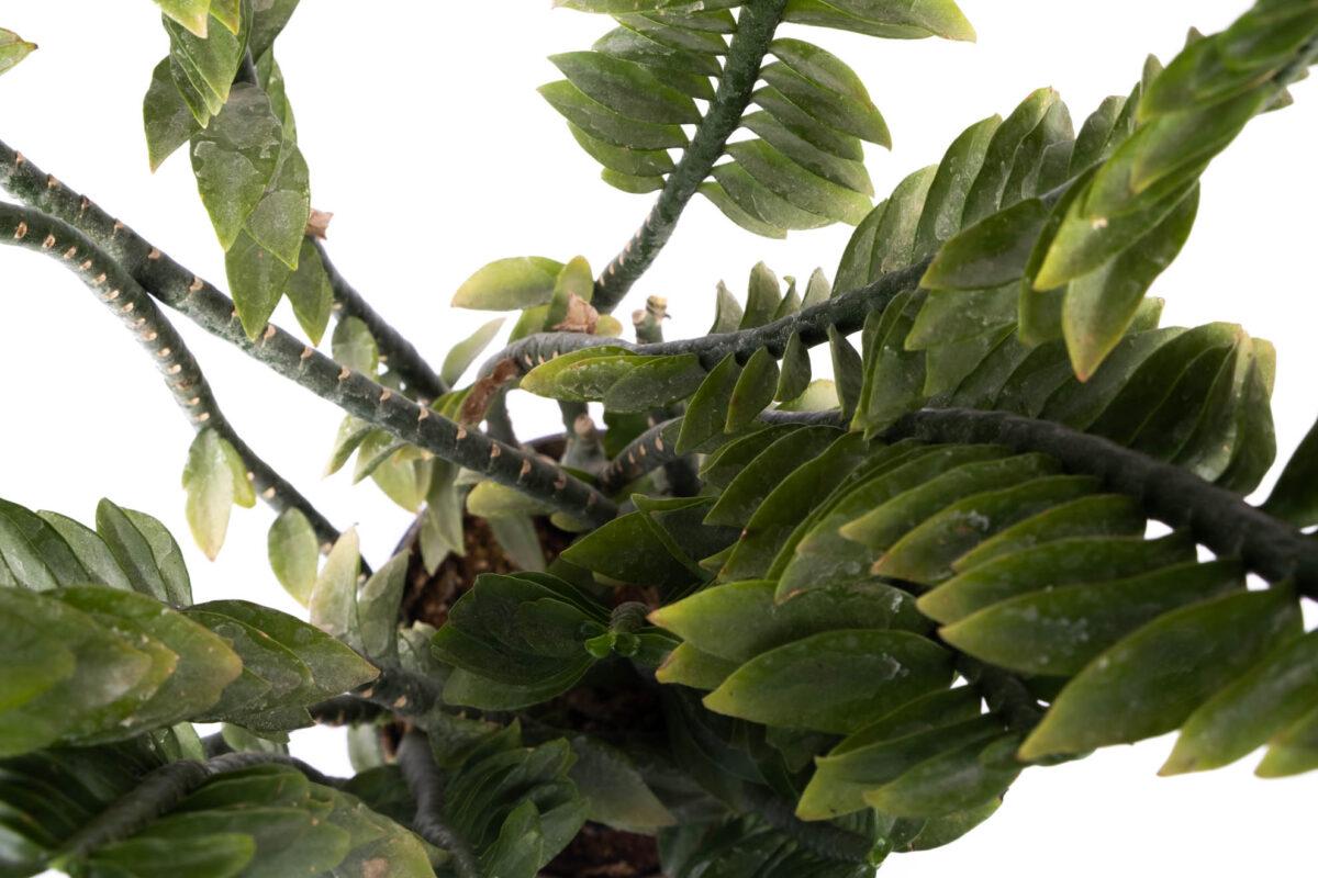Pedilanthus Plant