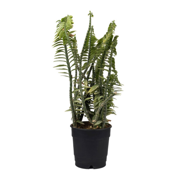 Pedilanthus Tithymaloides Plant