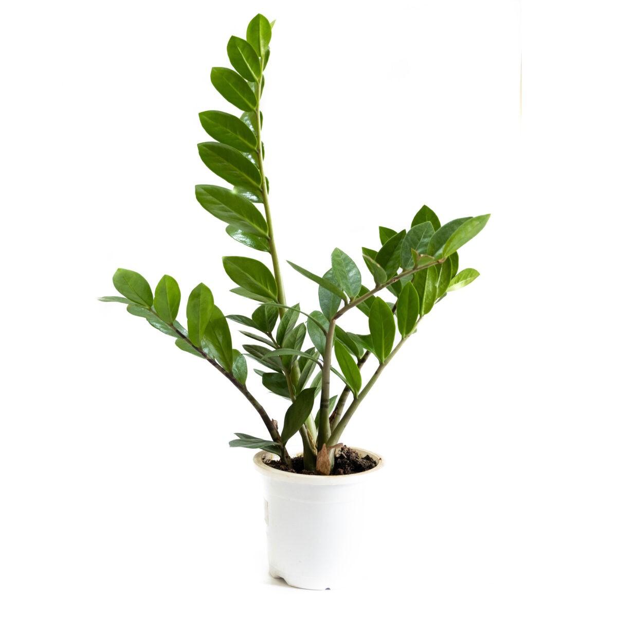 Zz Zamia Plant