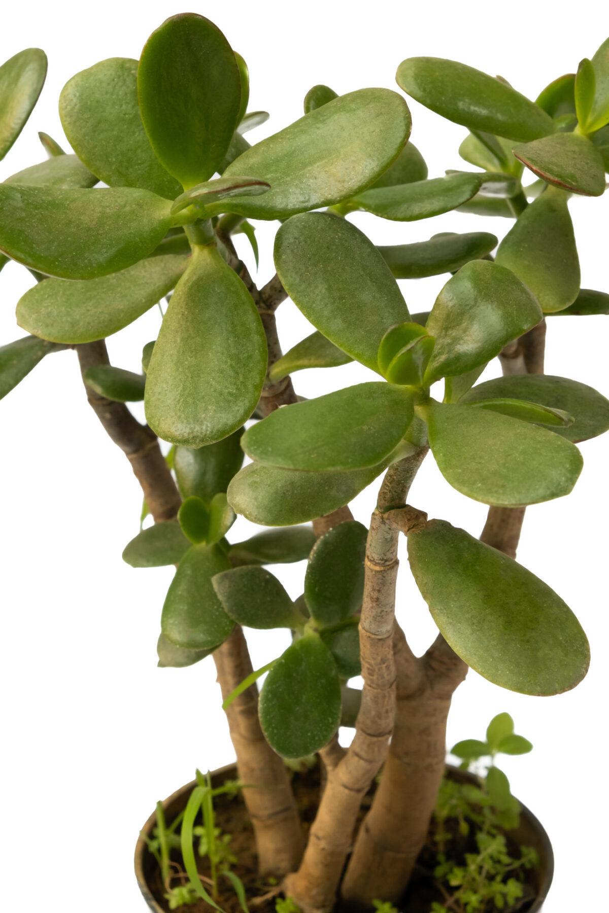 crassula/Jade Plant