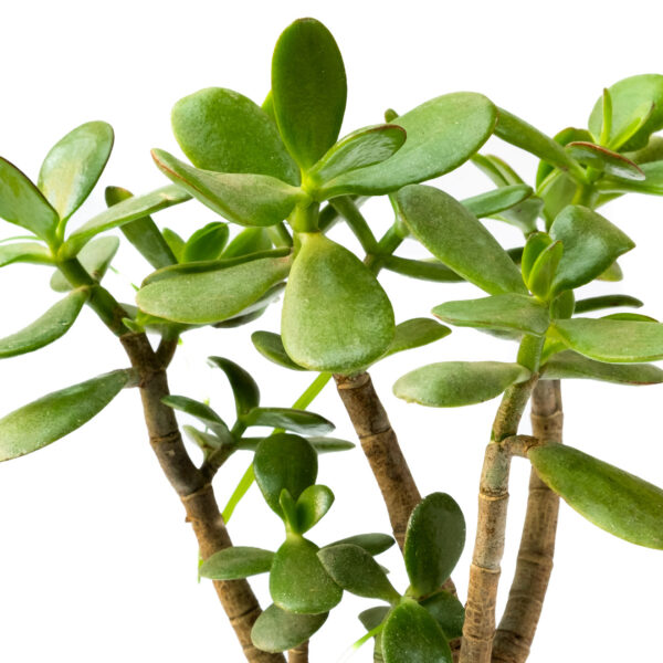 crassula / Jade Plant