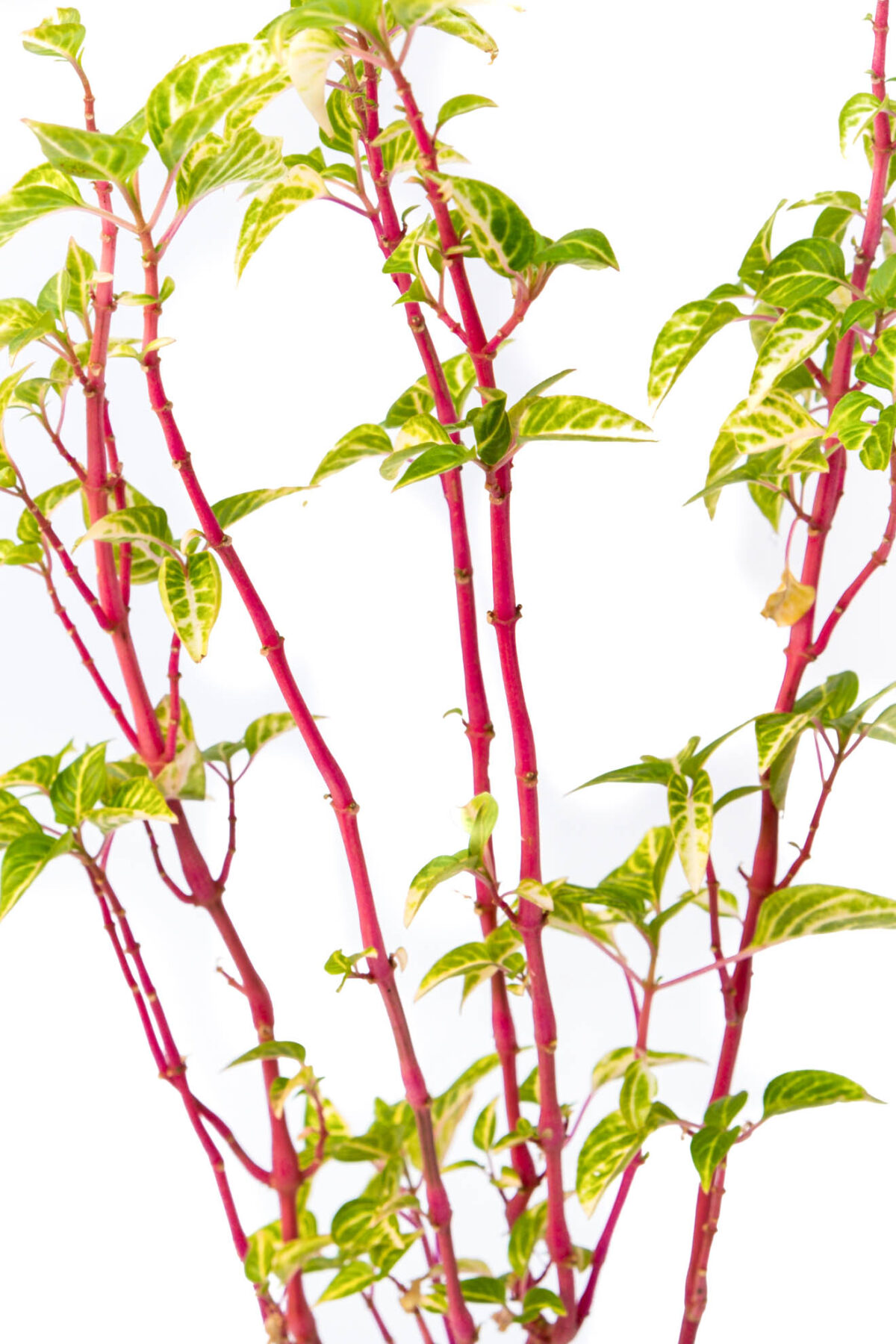 Iresine Herbstii Plant