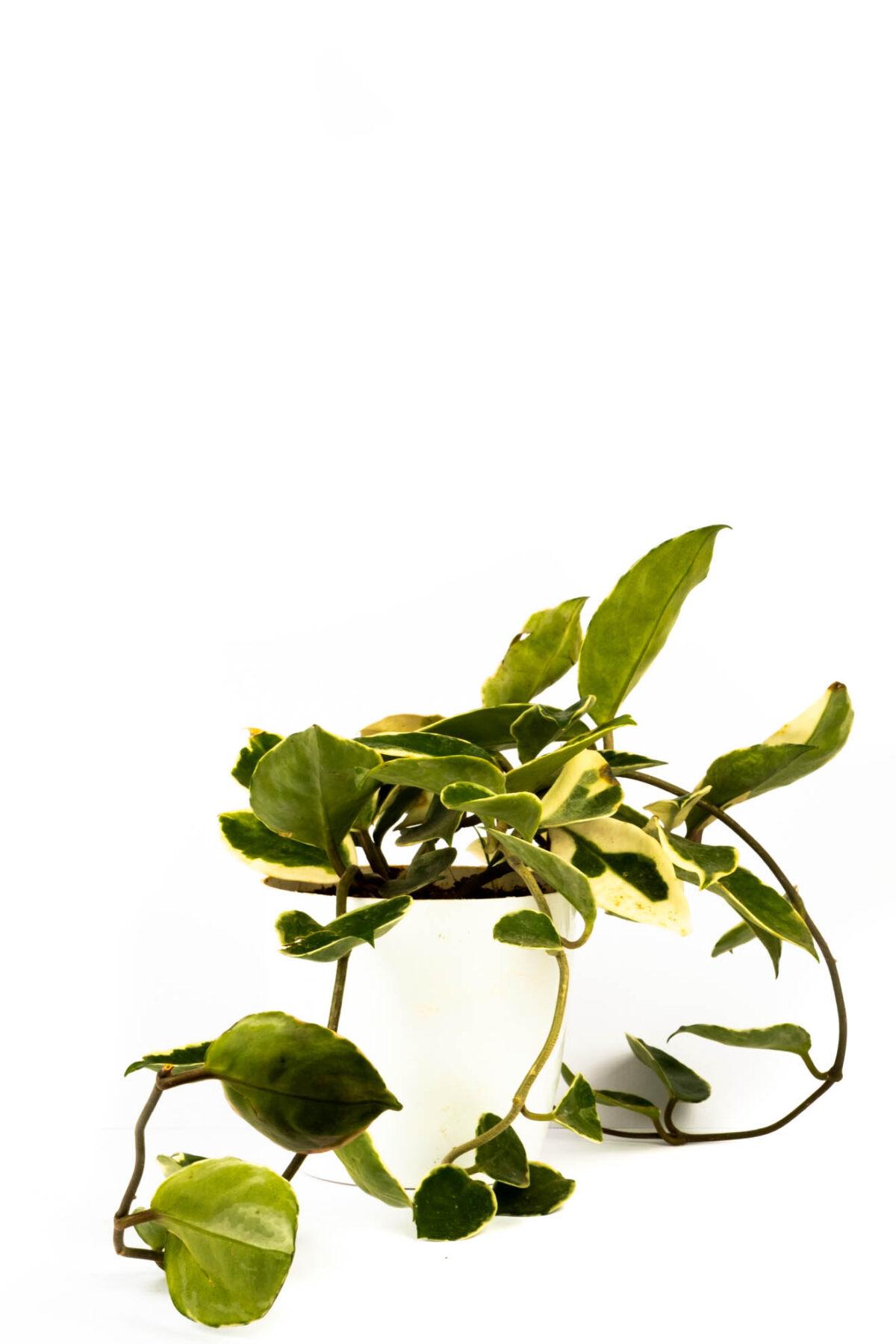 Hoya Carnosa Princess Plant