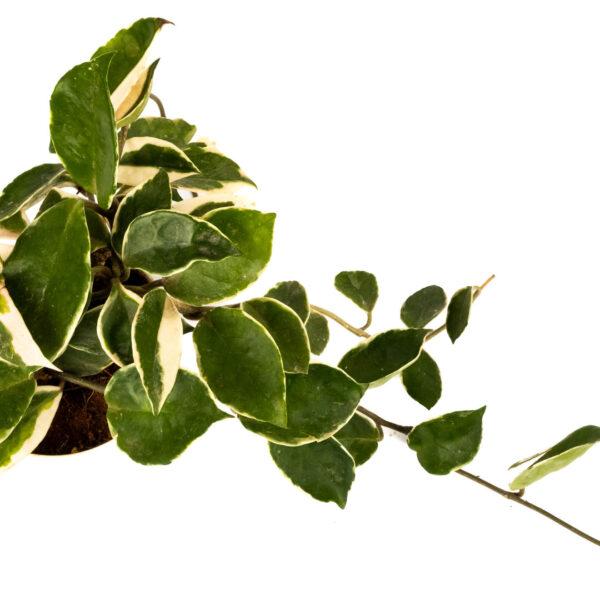 Hoya Carnosa Tricolor Plant
