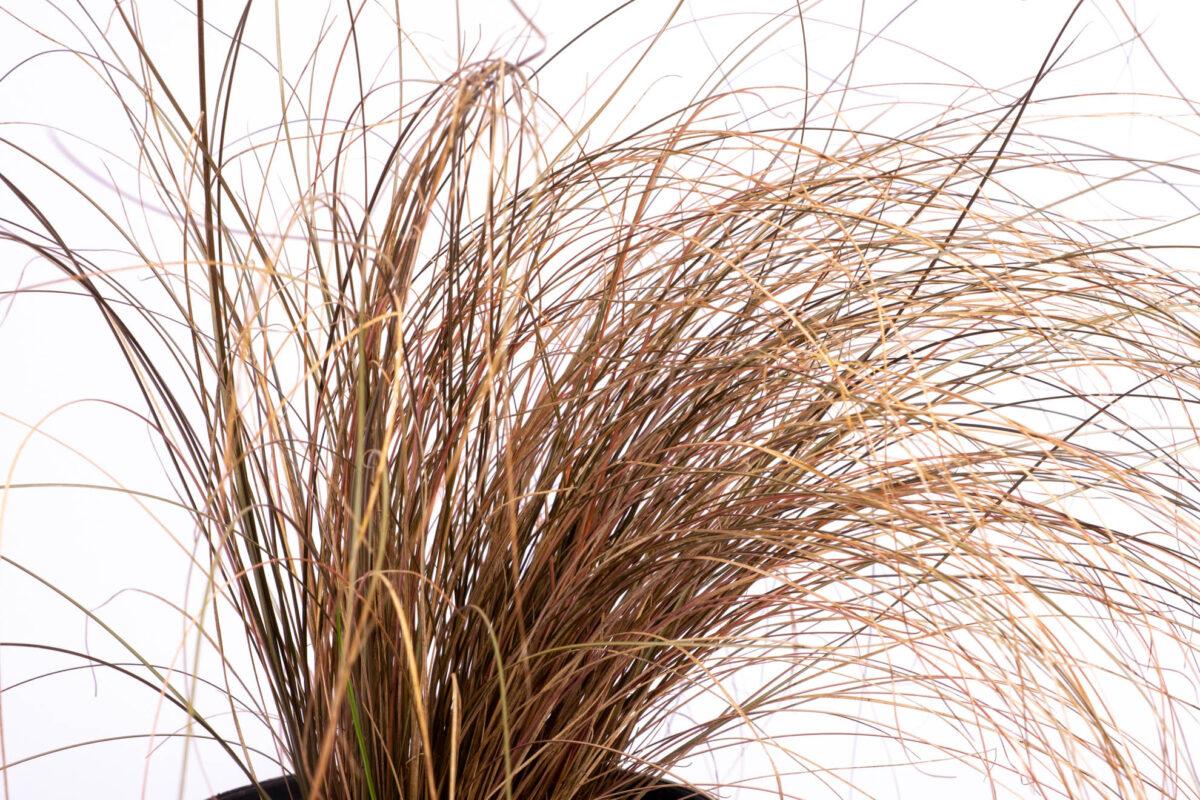 Red Ornamental Grass