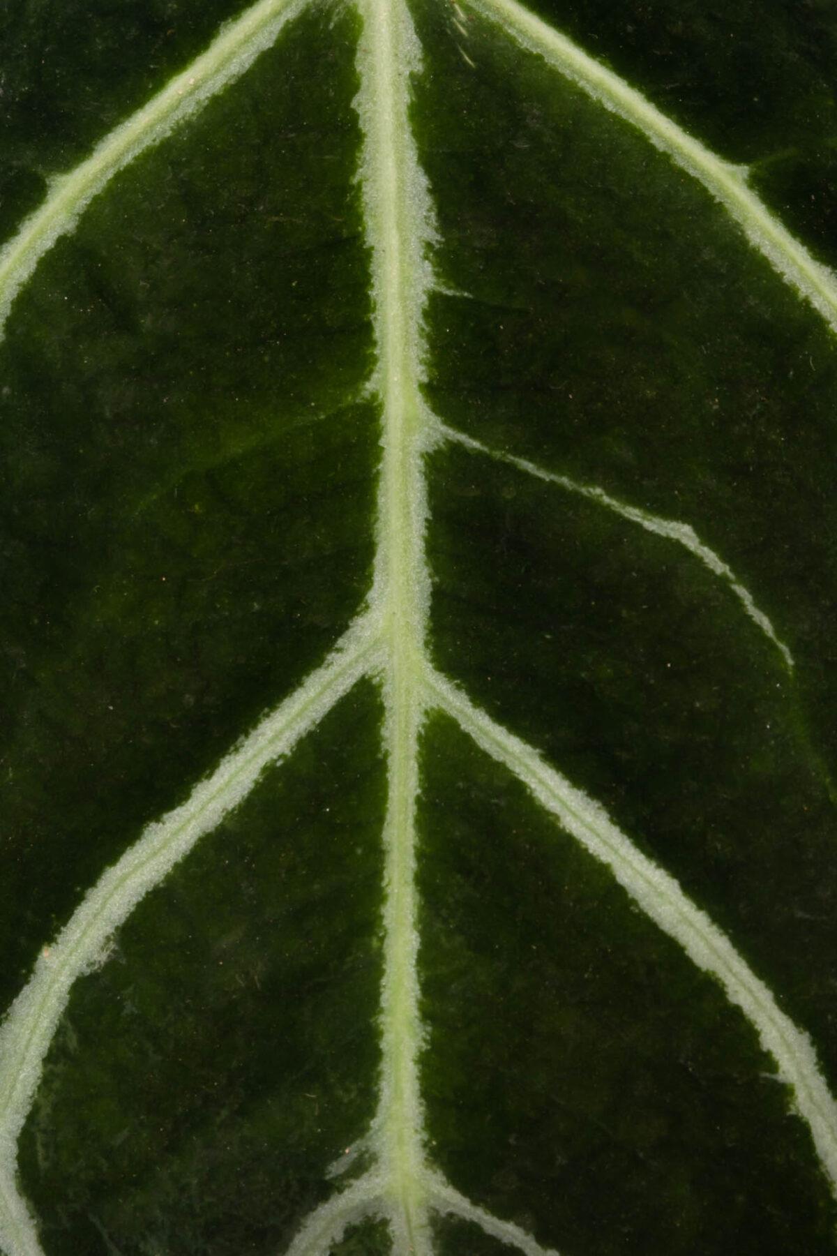 Anthurium Clarinervium Plant