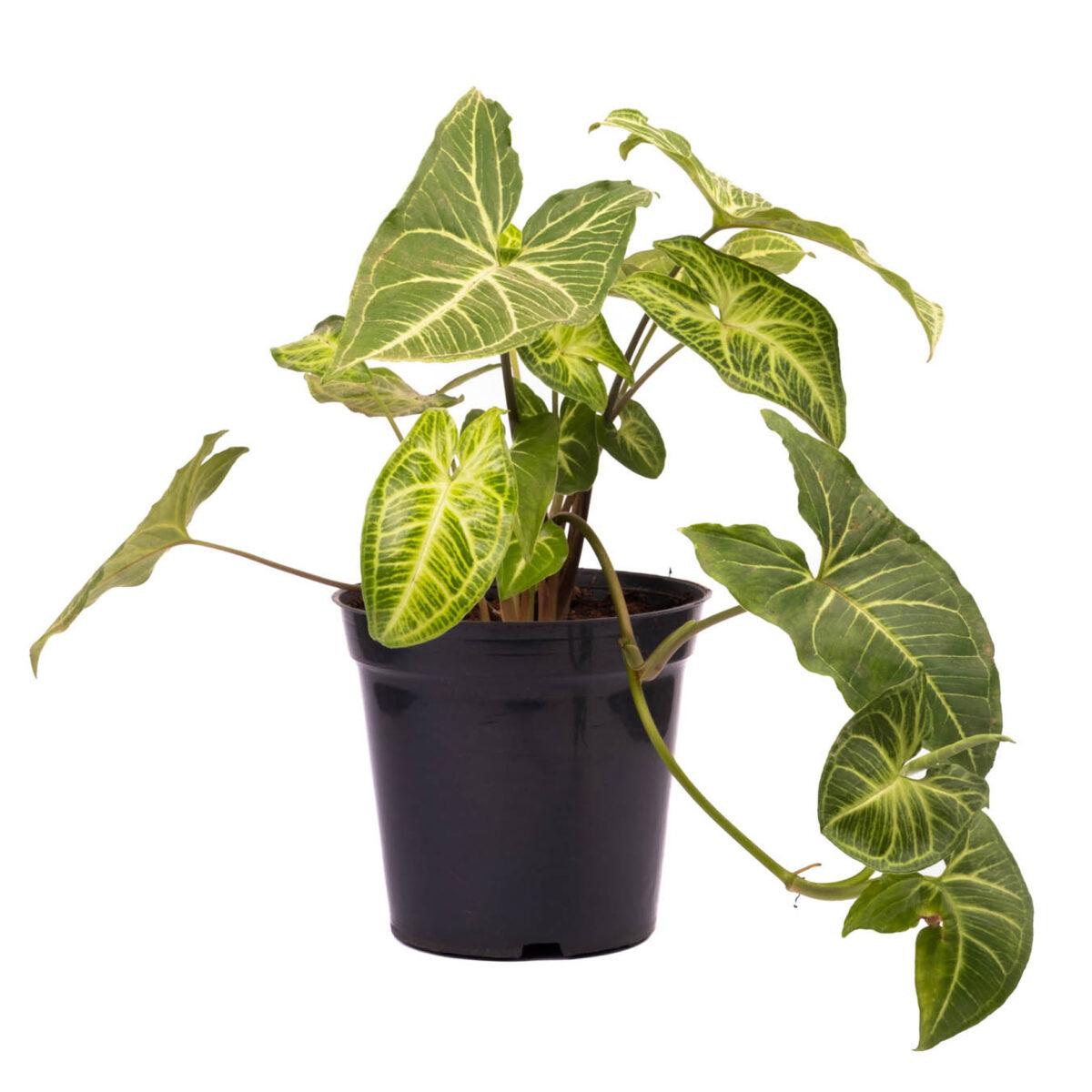 Arrowhead Plants picture