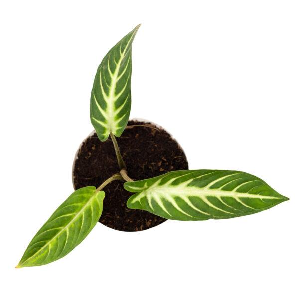 Calladium Lindenii Plant