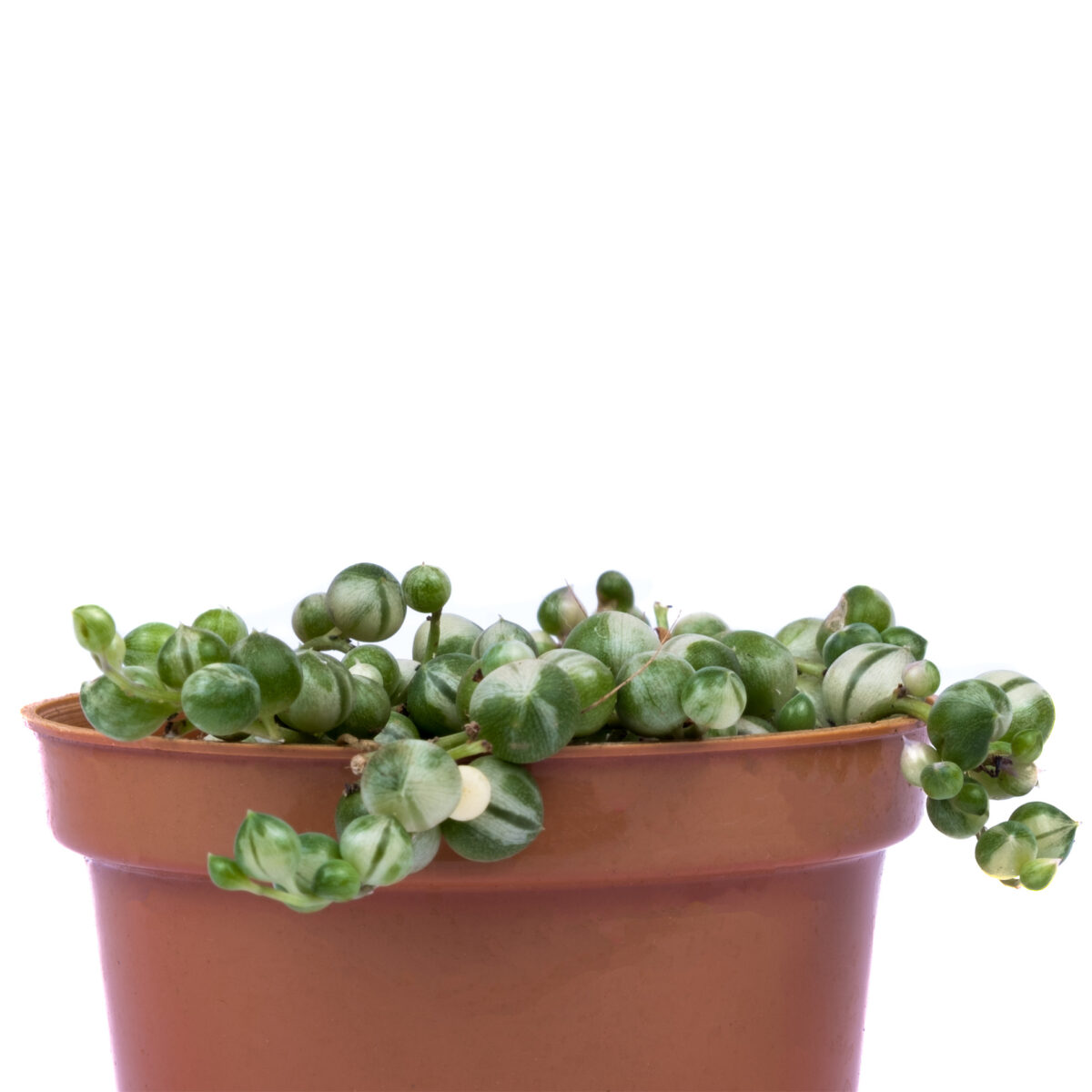 Variegated String of Pearls Plant