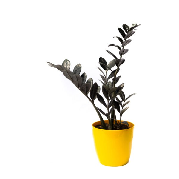Bagh Black ZZ plant