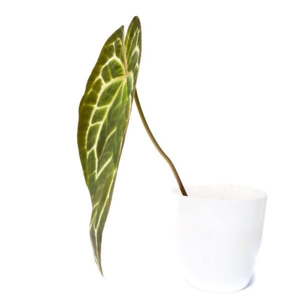 Bagh Anthurium Clarinervium