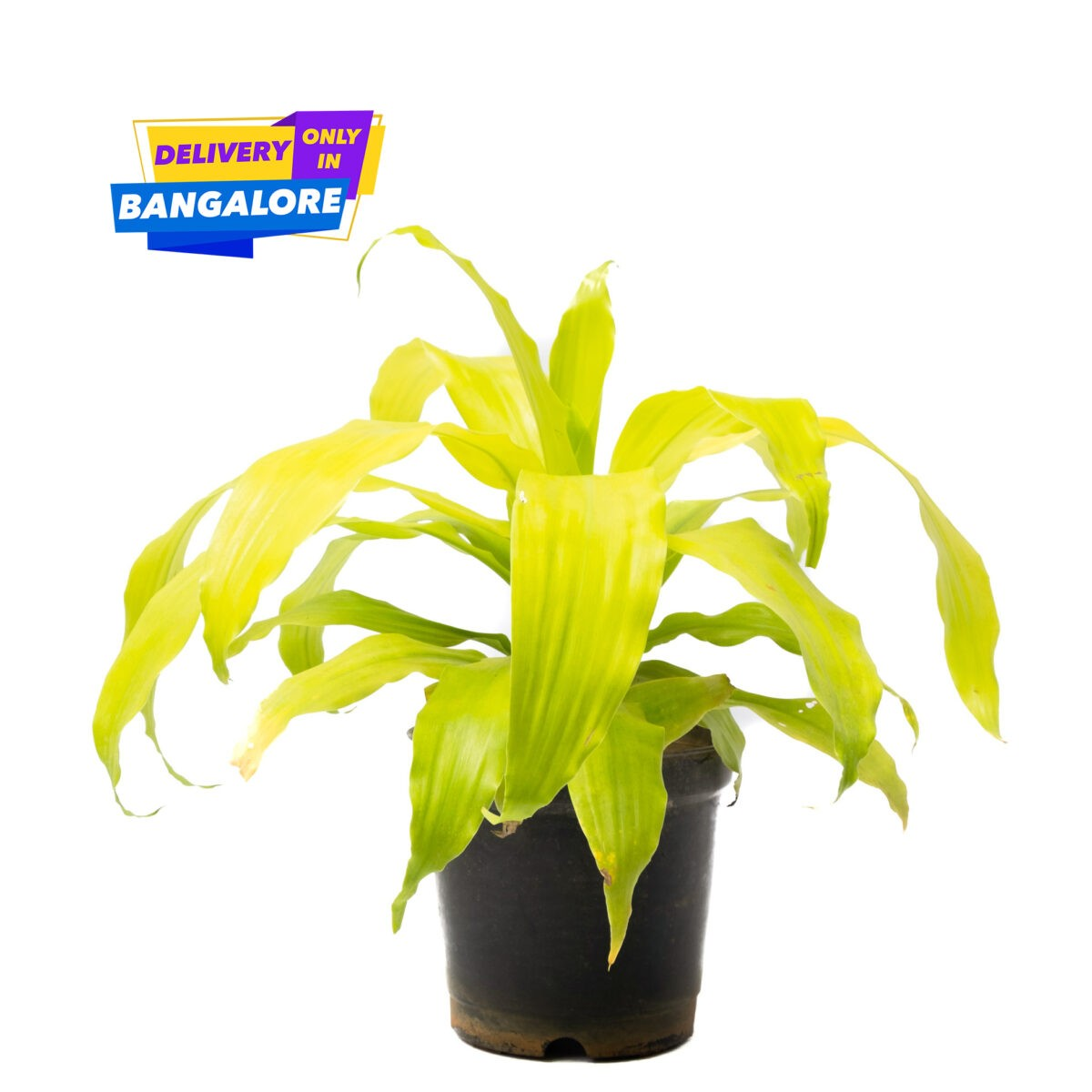 Dracaena Limelight, air purifier plant, green and yellow long leaves are low maintainence plants. Available only in Bangalore delivery