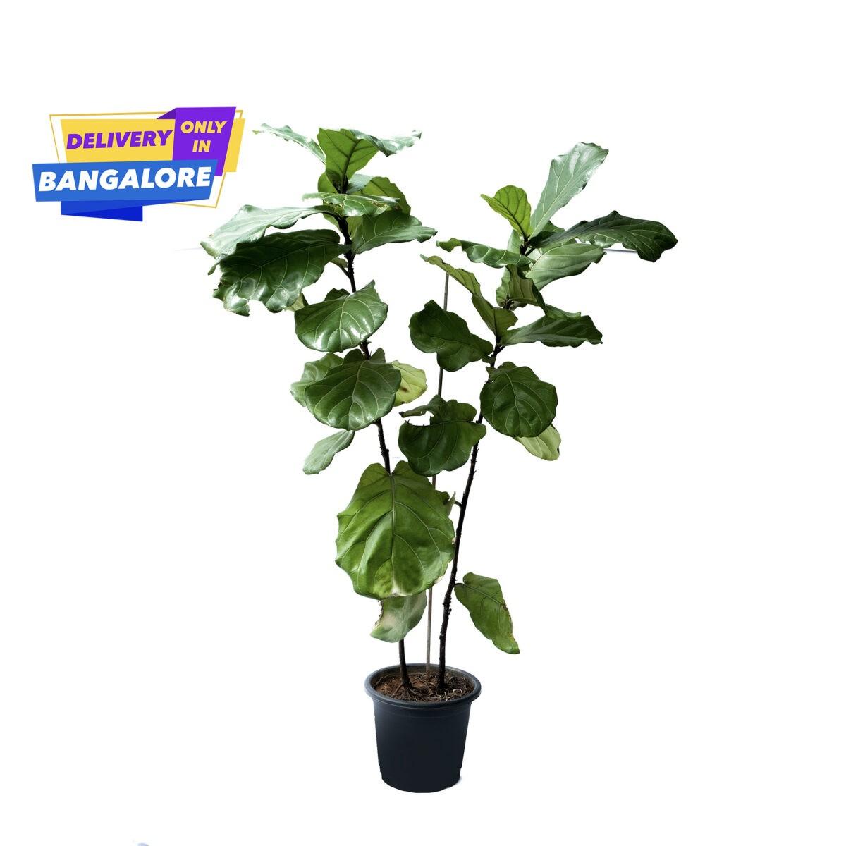 Fiddle Leaf Fig Plant in Bangalore Plant Shop Near