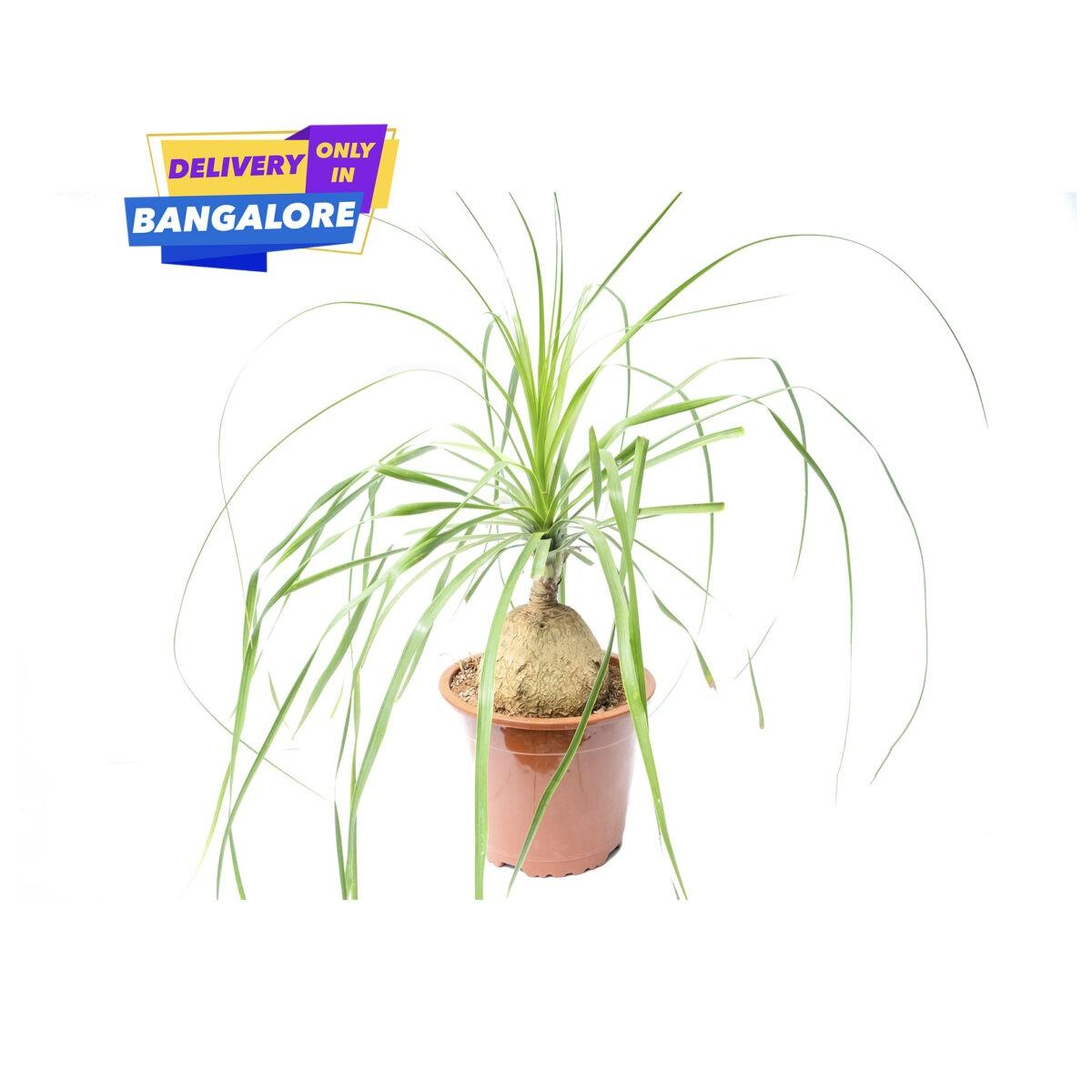 Pony Tail Palm with Big Fat Bottom Stem