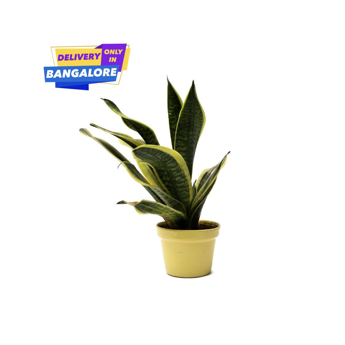 Sansevieria-Trifasciata