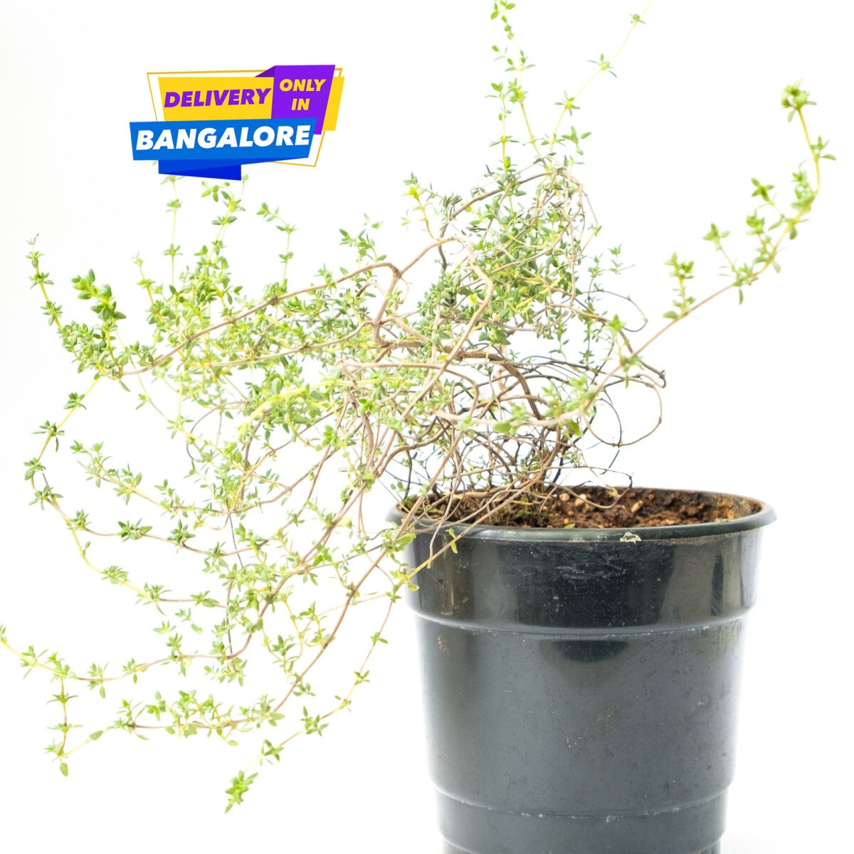 Thyme herb plant in Garden Shop Bangalore