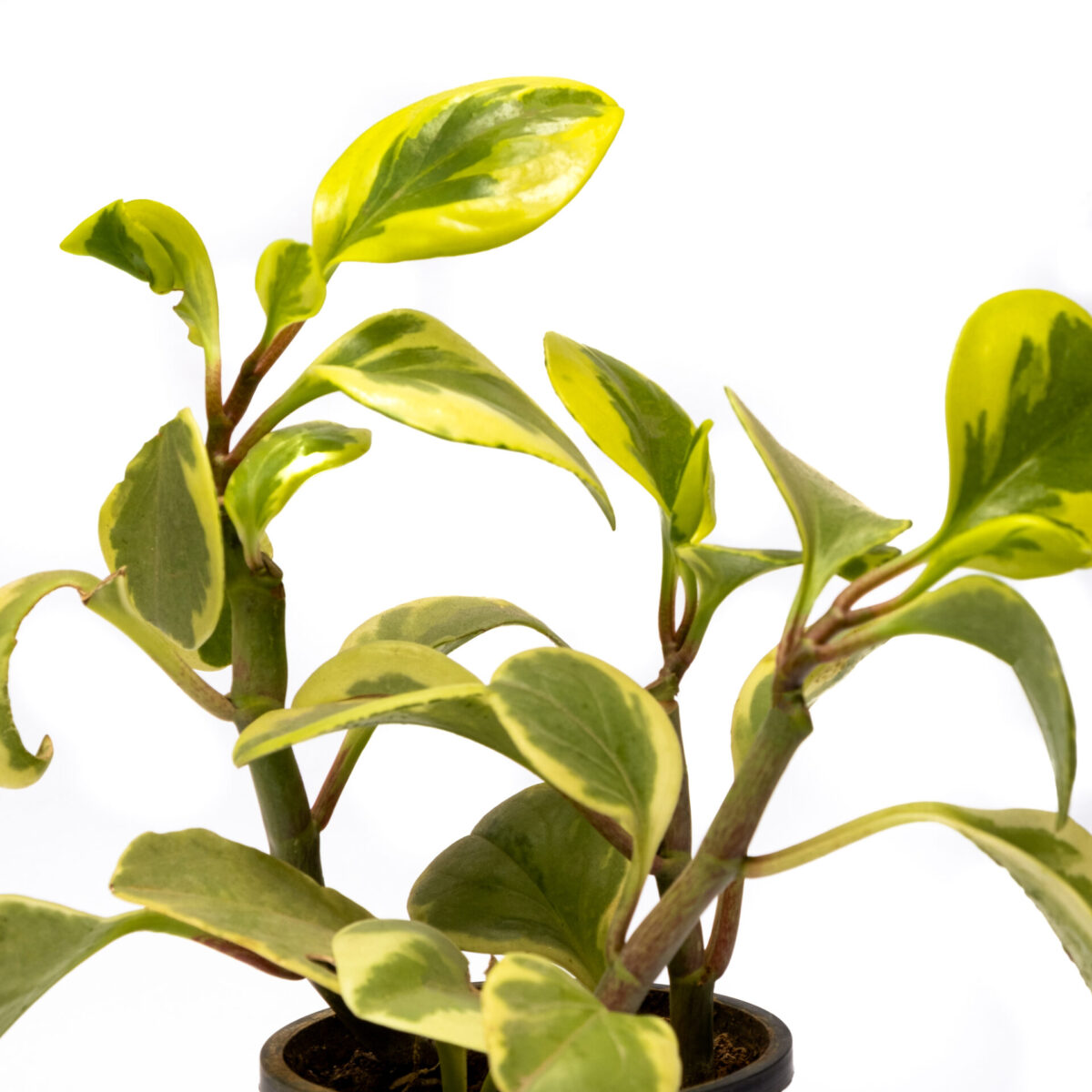The Bagh Store Peperomia
