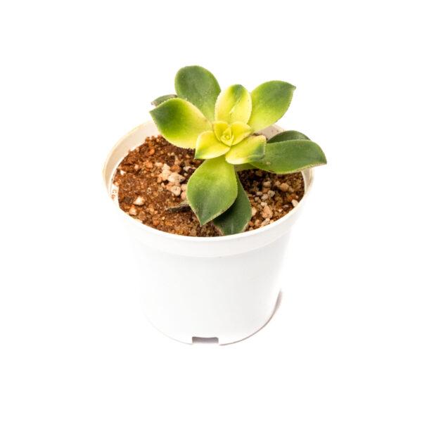 Bagh Aeonium kiwi
