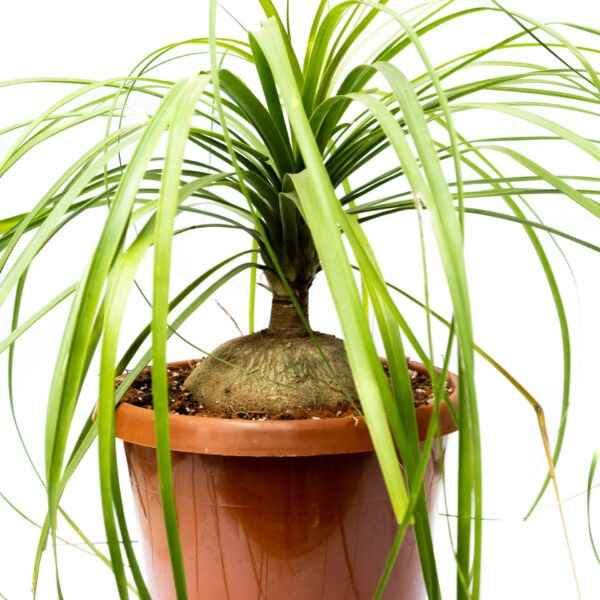 Pony Tail Palm with thick bottom stem