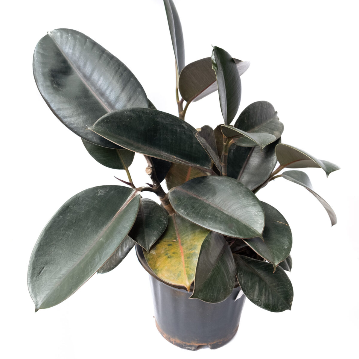 Bagh Ficus Elastica
