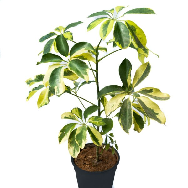schefflera plant or schefflera variegated is a popular house plant. Availlable for Bangalore delivery