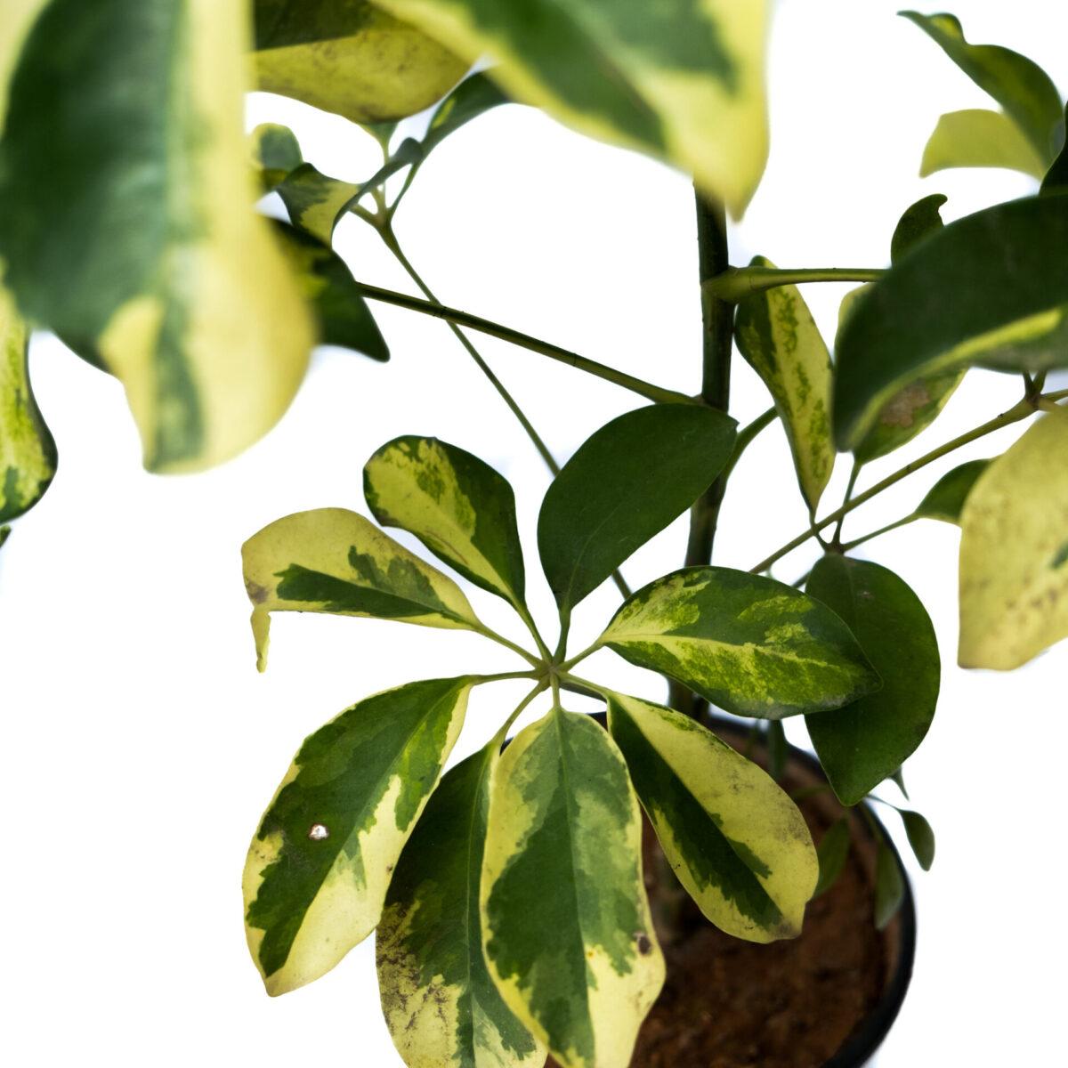 Bagh Schefflera Variegated Plant