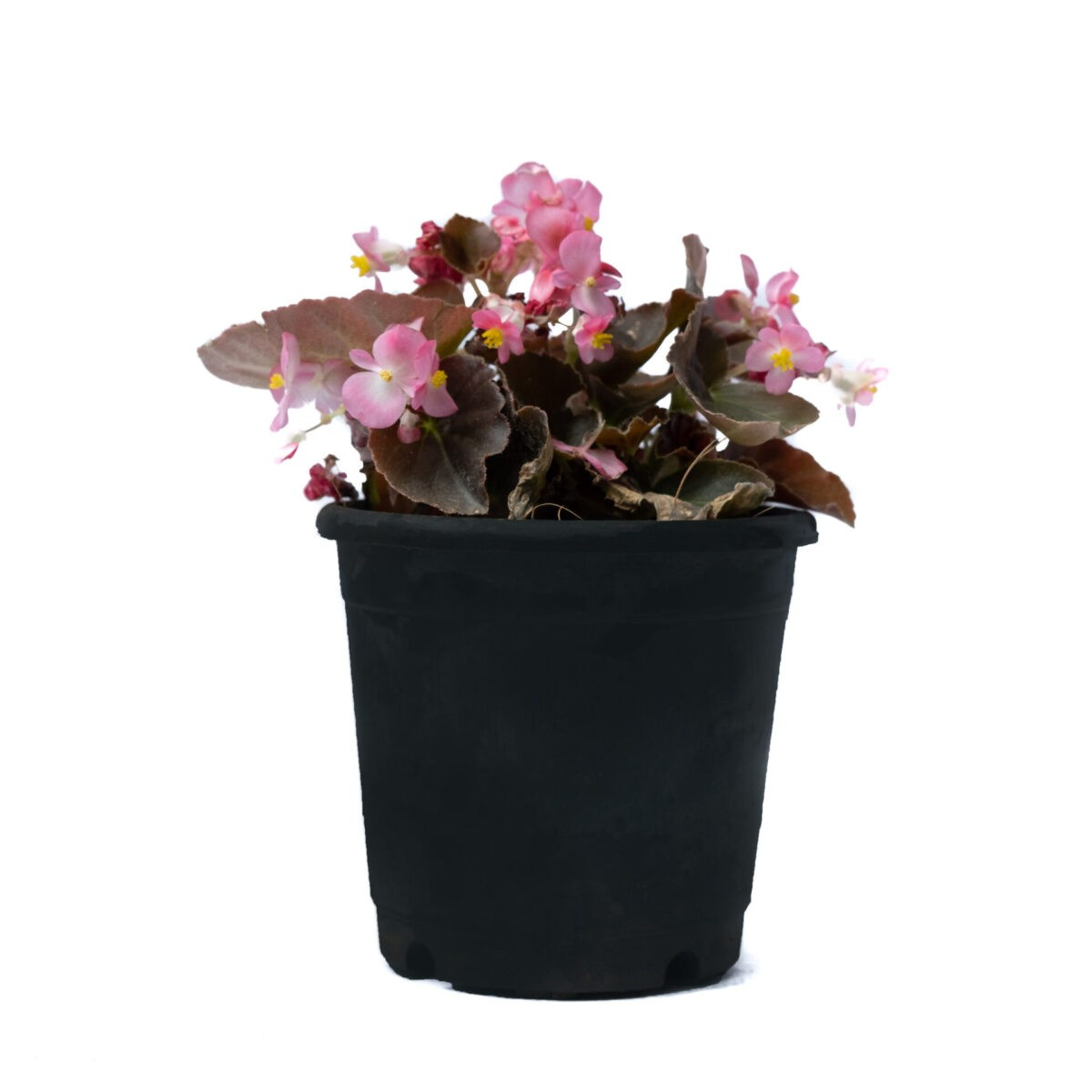 Bagh Begonia Angel with pink flowers and greenish red foilage in live plant nursery bangalore