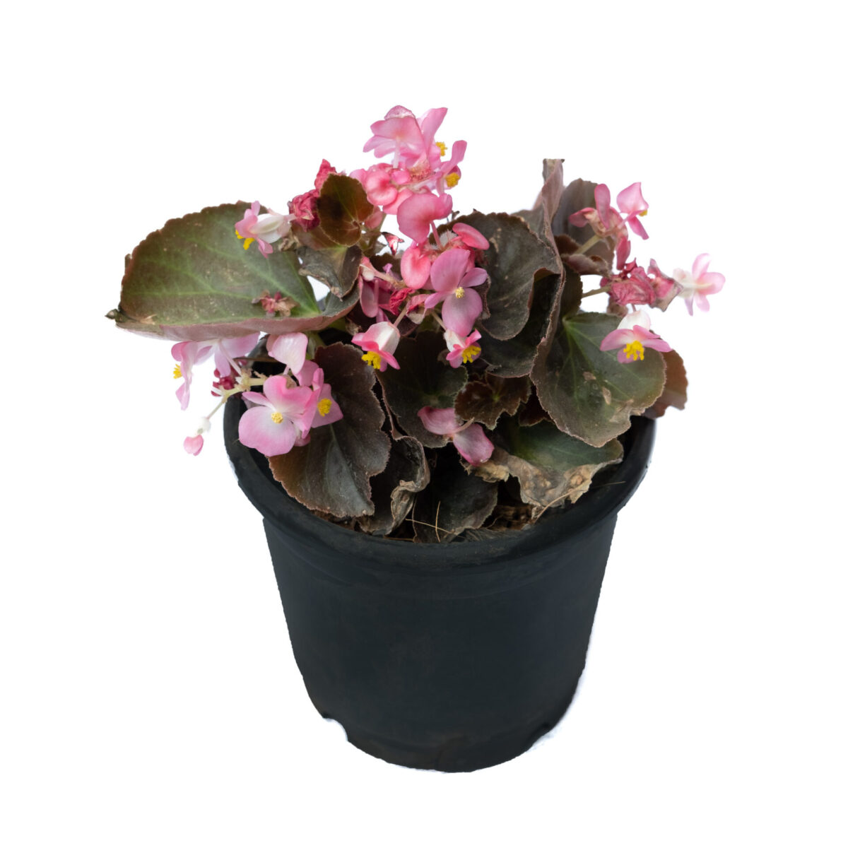 The Bagh Store Begonia Angel