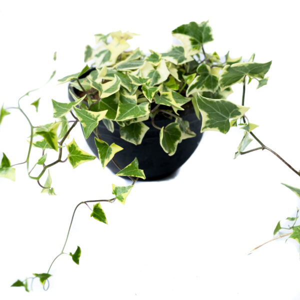 Bagh English Ivy
