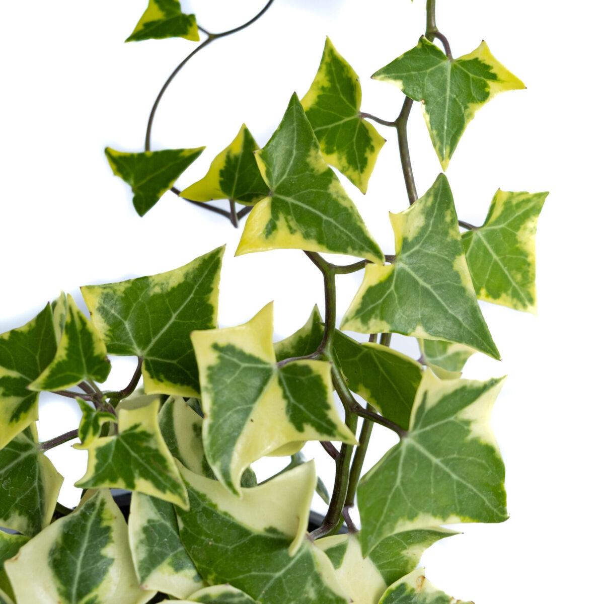 The Bagh Store Bagh English Ivy