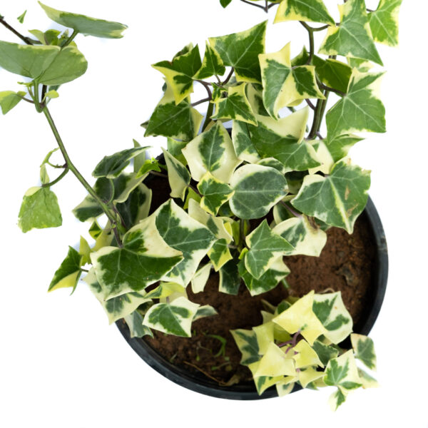 Bagh English Ivy