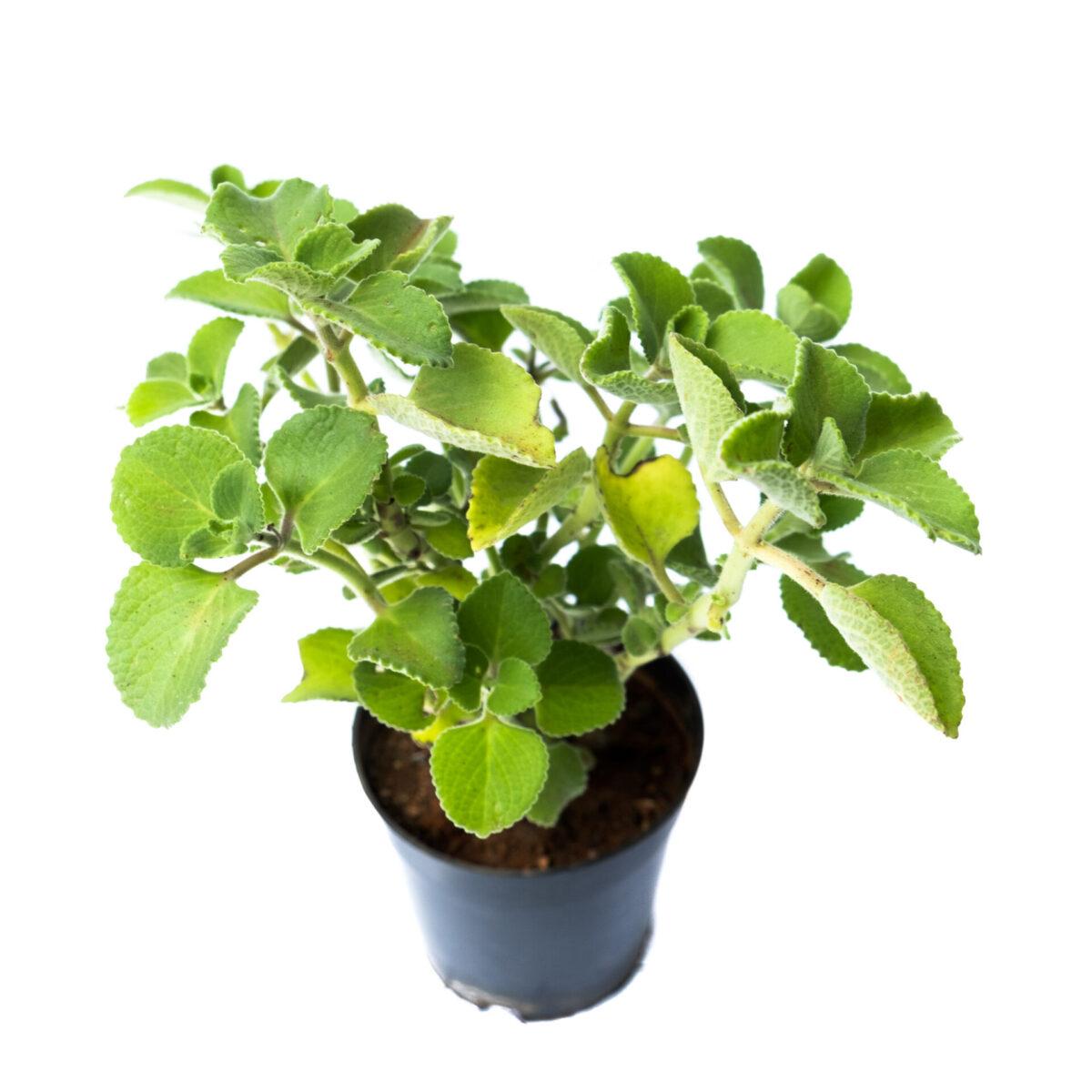 Bagh Trachyspermum ammi