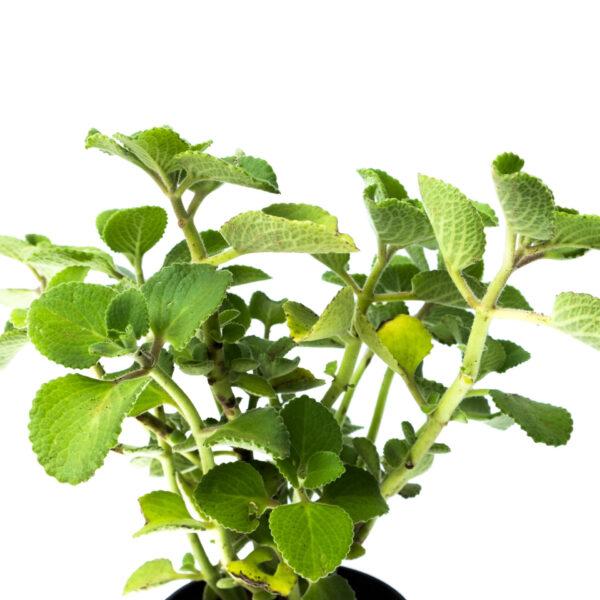 Bagh Ajwain herb