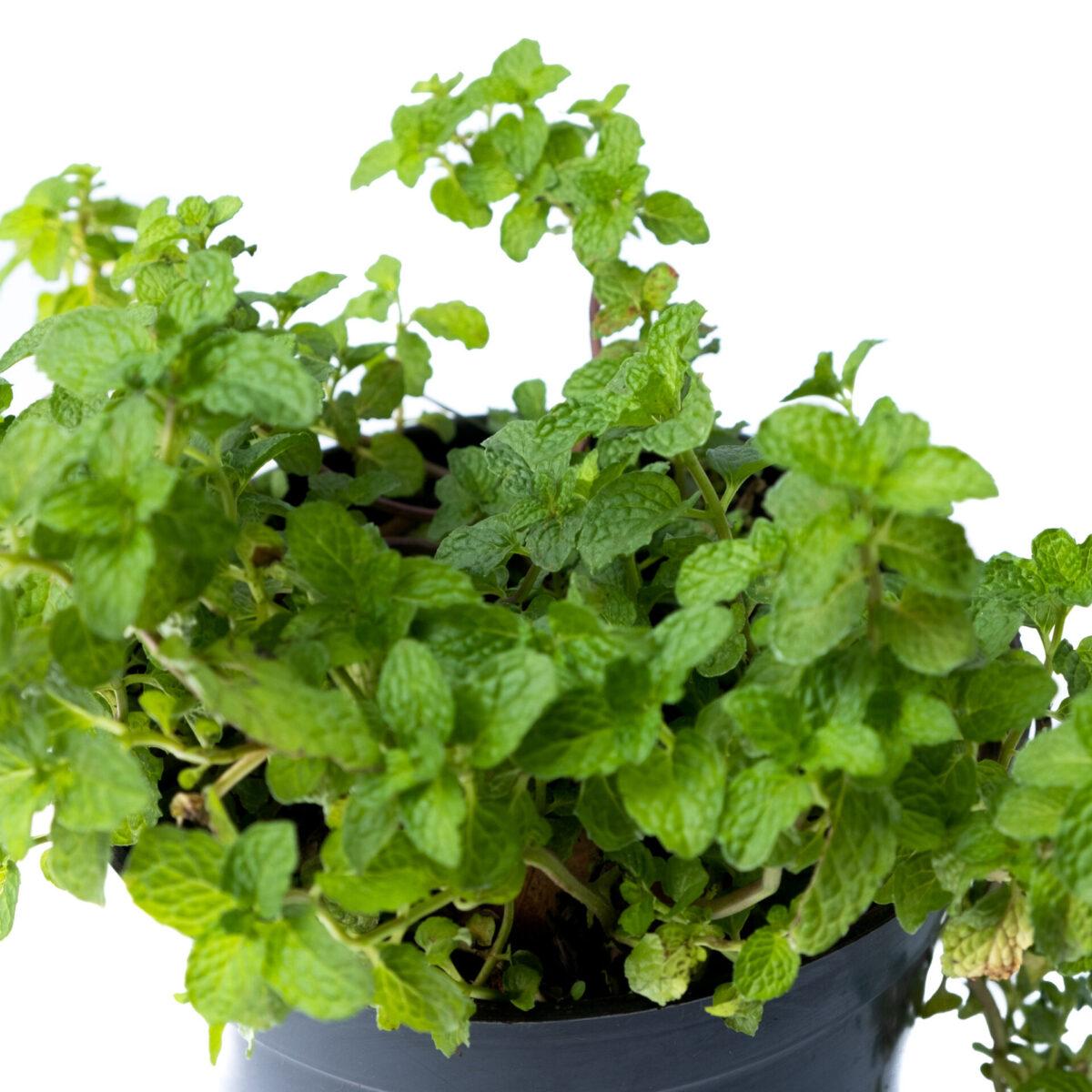 Bagh Mint Plant