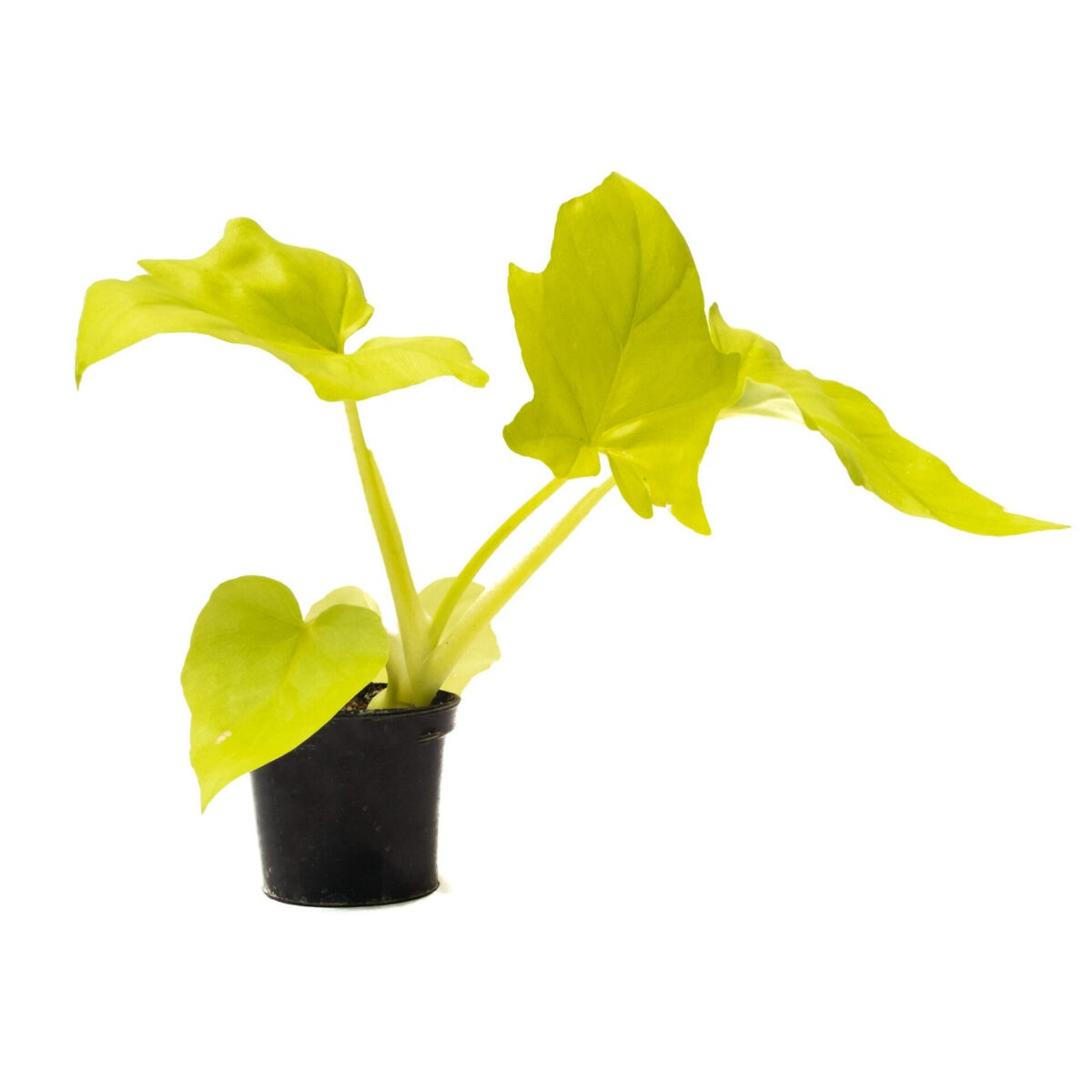 Philodendron Selloum golden available for Bangalore delivery. Low light or indoor plants