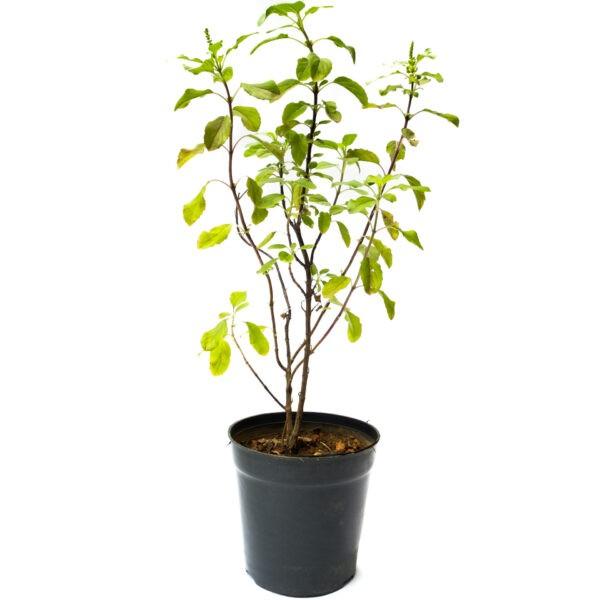 Tulsi, Holy Basil, Tulasi, Medicinal Plants Online Bangalore